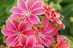 ©B.Schönges, Lewisia Purple